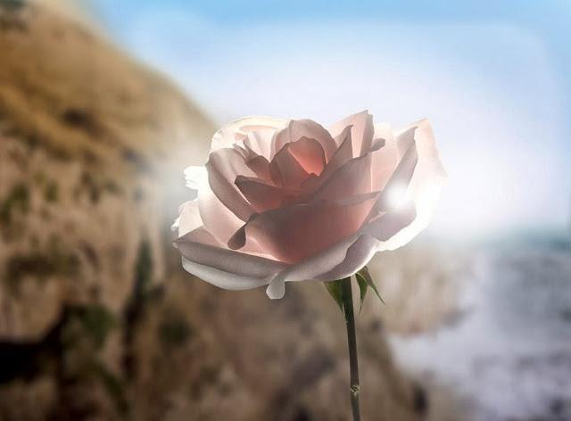 Rose de Granville